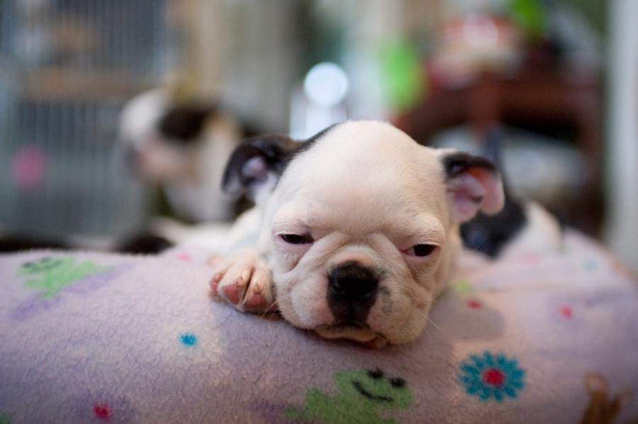 6 weeks Boston Terrier