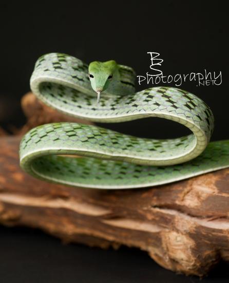 Green Vine Snake- Angry girl giving us the snake eye (kind of like a stink eye, but on a cute snake)