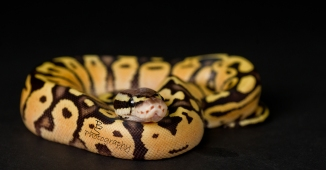Ball Python- Smiling with his own smiles.
