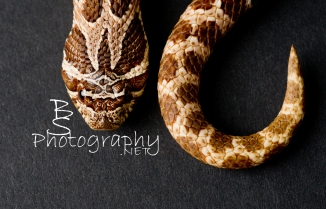Top view of a young Hognose Snake showing off his curves.