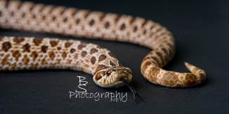 A beautiful Western Hognose Snake who wanted to tell us what he thought of our picture taking.