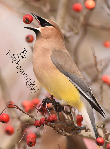 Cedar Waxwing in Columbia, MD (C) Bryan Sirotkin/B.S. Photography